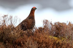 Red Grouse at Rules